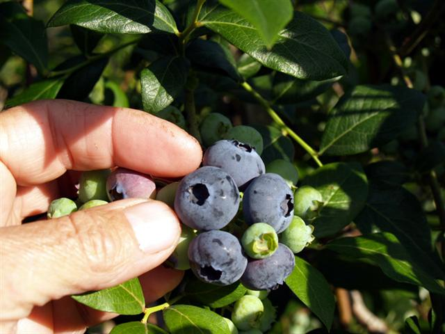 PickingBlueberries
